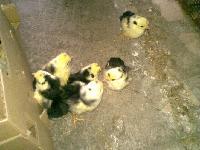 贵妃鸡种苗生产厂家