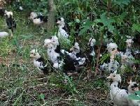贵妃鸡种苗供应商