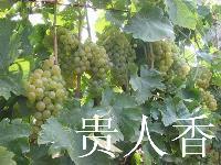 优质葡萄苗