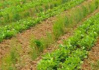 芦笋蔬菜种子100g/袋