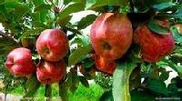藤木苹果价格