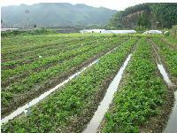 甜茶理草莓苗 大棚草莓种苗基地