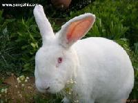 贵州长毛兔种兔价格2015兔子行情好吗