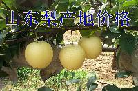 黄金梨产地直销批发质量保证
