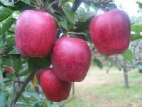 今年山东红星苹果产地价格直销多少钱一斤