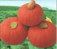 红贝贝南瓜种子