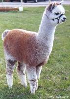 羊驼的品种 羊驼的养殖特点