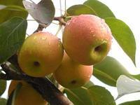 美八苹果价格