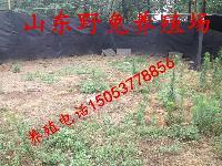 杂交野兔养殖基地-养殖