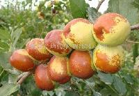 2017山东冬枣产地供应商