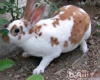 供应四川獭兔价格獭兔养殖价格趋势肉兔种兔