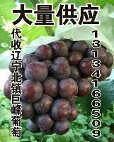 辽宁北镇无核巨峰葡萄上市了产地代办代收