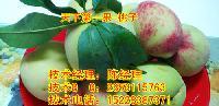 优质桃子苗,桃子苗基地,桃子苗排栽