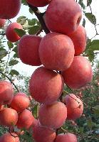 红富士 陕西苹果 洛川苹果