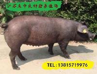 最新三元仔猪价格