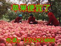 现在山东嘎拉苹果价格8月山东红星苹果价格喜讯