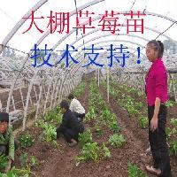 草莓苗购买地 佐贺清香草莓苗基地
