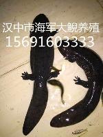 贵州娃娃鱼最新养殖方法,贵州娃娃鱼养殖基地