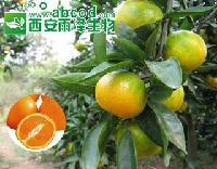 橘子浓缩粉提取物生产厂家