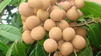 桂圆提取物浓缩汁干燥粉生产厂家
