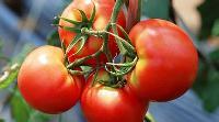 西红柿提取物生产厂家