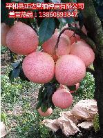 新品种大三红蜜柚口感好市场旺