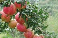 会理有机甜石榴农场现摘批发 新鲜水果