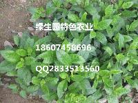 每星期可采摘降糖树 降压菜优质种苗