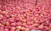 山东苹果价格 山东苹果批发价格