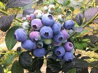 广西桑江蓝蓝莓125g/盒