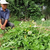 婆婆丁/蒲公英 新鲜蔬菜野菜净菜新鲜蔬菜