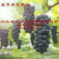 夏黑芽变葡萄苗