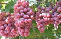 红提葡萄价格