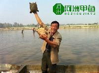 湖南甲鱼生态中华鳖批发