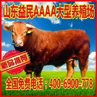鲁西黄肉牛