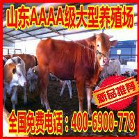 鲁西黄牛犊