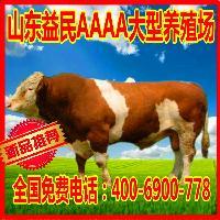 肉牛西门塔尔牛