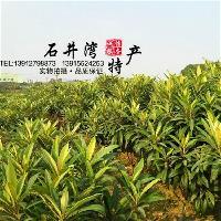 苏州东山白玉枇杷树苗