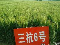 高产小麦品种三抗1号在河南产量怎样