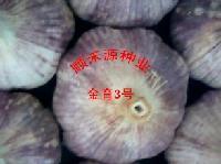 金育3号大蒜种子