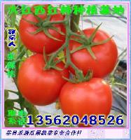 温室种植大红西红柿