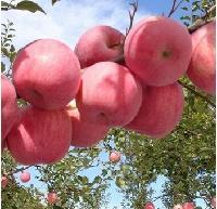 万亩红富士苹果大量上市了