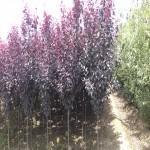 紫叶李行道树