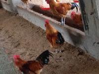 奉节土鸡市场,土鸡养殖奉节土鸡信息