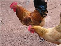 星华禽业供应优质青脚土鸡苗批发