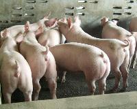 外三元猪养殖出售中心外三元猪