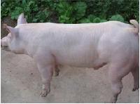 内三元猪市场内三元猪