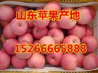 山东红富士苹果批发基地