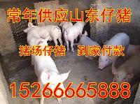 内三元猪猪价内三元猪