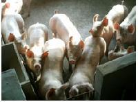 内三元猪养殖场内三元猪